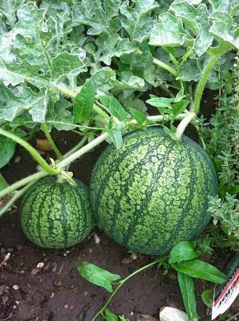 Watermelon Farming in Kenya